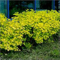 Physocarpus opulifolius Luteus - Pęcherznica kalinolistna pokrój