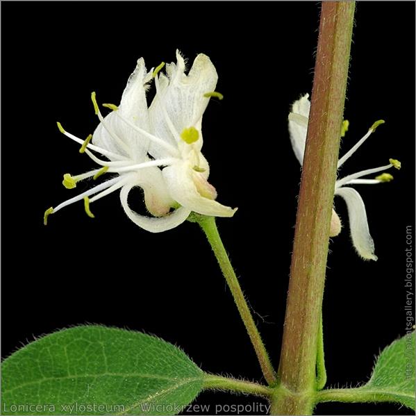 Lonicera xylosteum flower - Wiciokrzew pospolity kwiat