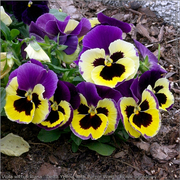 Viola wittrockiana 'Delta Yellow with Purple Wing - Fiołek ogrodowy, bratek