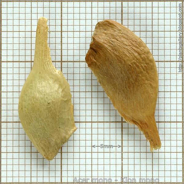 Acer mono seed - Klon mono nasiona