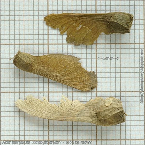 Acer palmatum 'Atropurpureum' seed - Klon palmowy nasiona