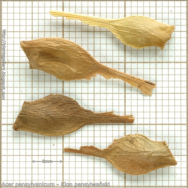 Acer pensylvanicum seed - Klon pensylwański nasiona
