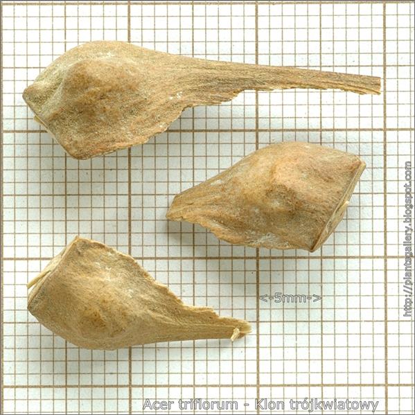 Acer triflorum seed - Klon trójkwiatowy nasiona