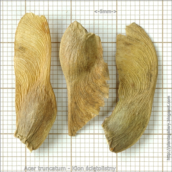 Acer truncatum seed - Klon ściętolistny nasiona
