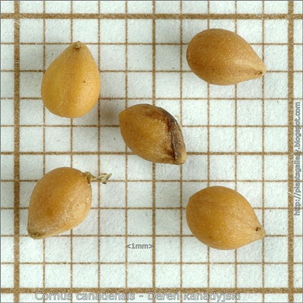 Cornus canadensis seed - Dereń kanadyjski nasiona
