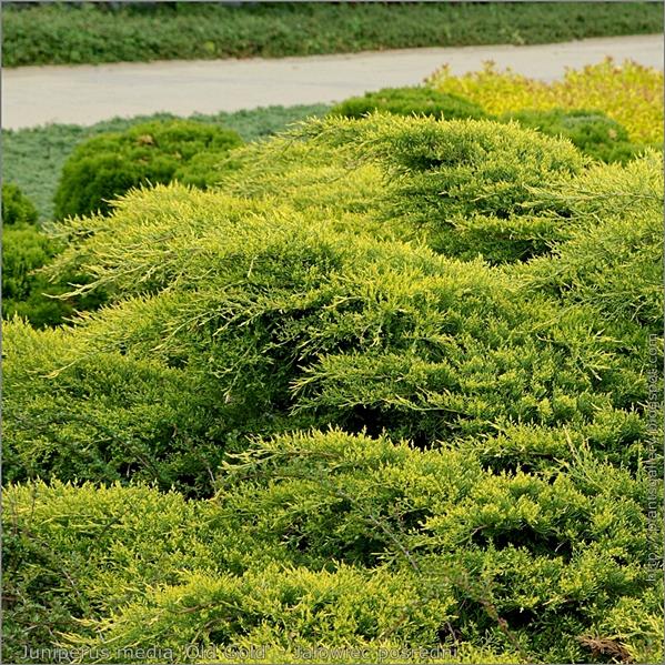 Juniperus media 'Old Gold' - Jałowiec pośredni 'Old Gold' majowe przyrosty