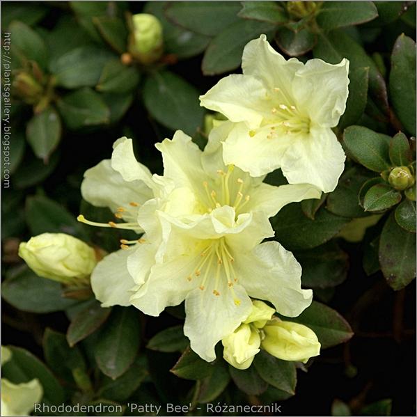 Rhododendron 'Patty Bee' flower - Różanecznik kwiaty