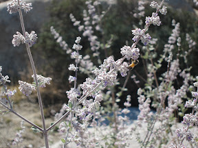 The honey bees were enjoying the fragrant Desert Lavender