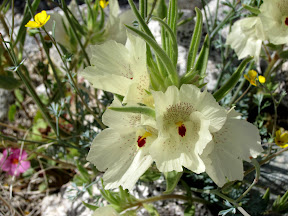 Ghost Flower or Mohavea confertiflora in Anza Borrego