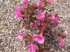 Desert Wildflower Update - Anza Borrego