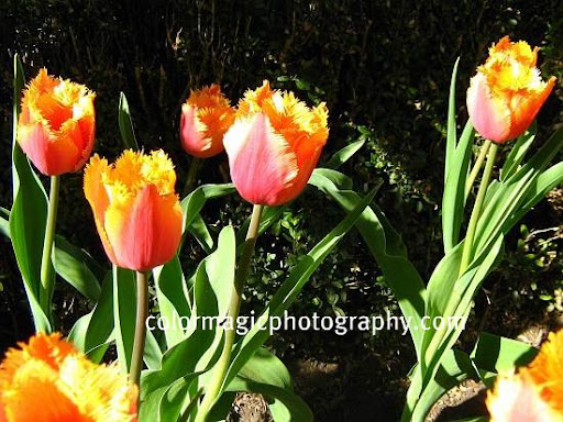 Orange-red fringed tulips