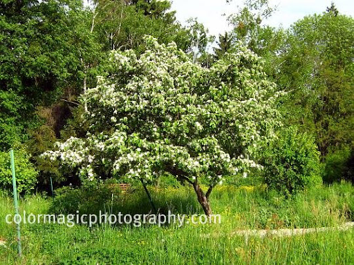 Quince tree flowering-Cydonia oblonga