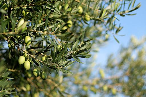 оливковое дерево, Греция