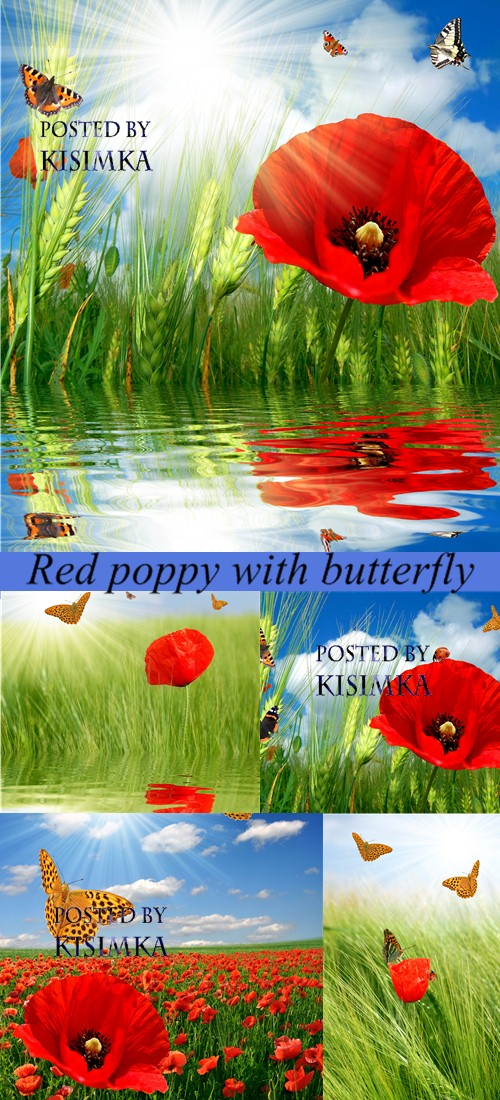 Stock Photo: Red poppy with butterfly