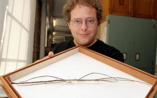Giant Stick Insects