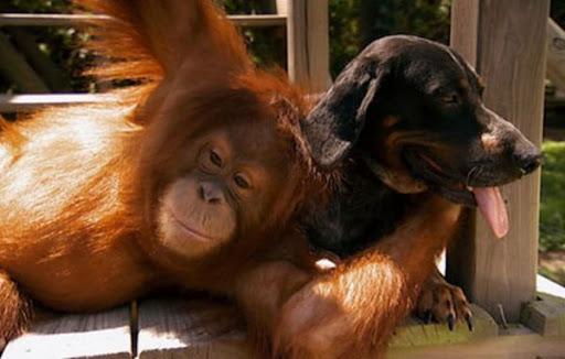 orangutan memeluk anjing