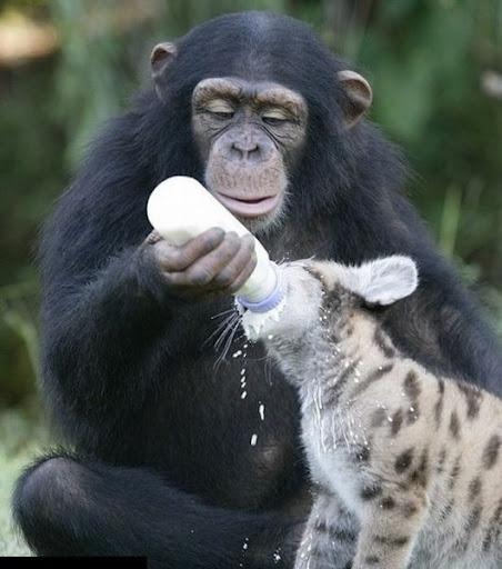 simpanse menyusui harimau