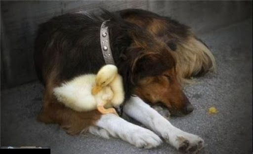 anjing memeluk bebek