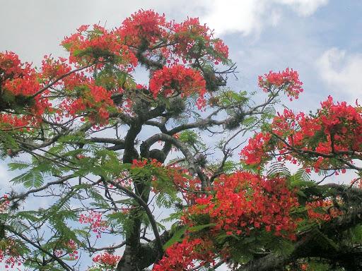 Arbol de Acacia Flamboyant Flamboyan Delonix Regia La Trinidad Baruta Estado Miranda Venezuela