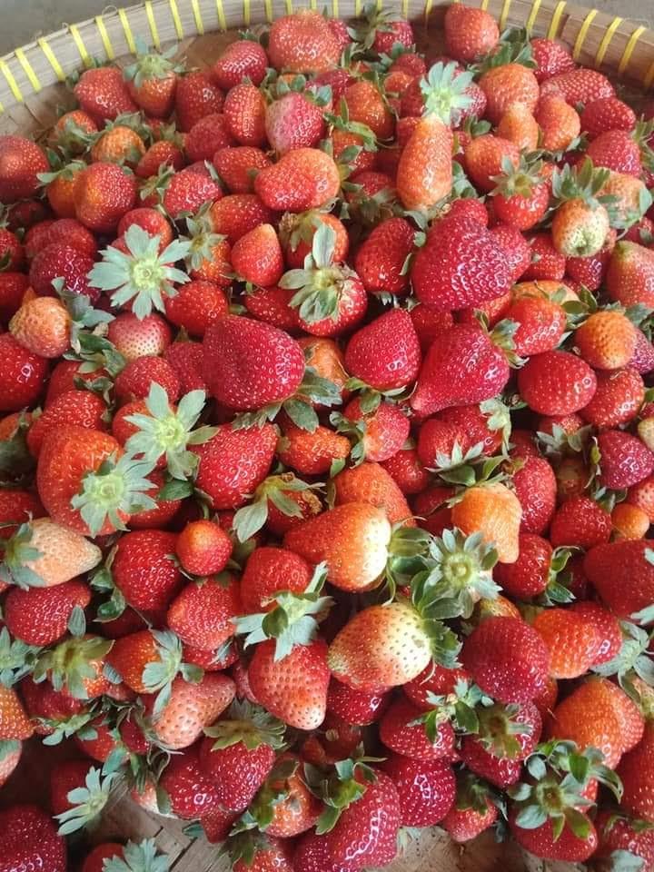 Summer Of 2020 Strawberry Picking In Pancasari Bali