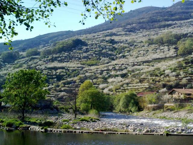 Cerezo en Flor 2011 desde el rió Jerte