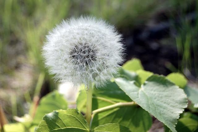 the perfect dandelion