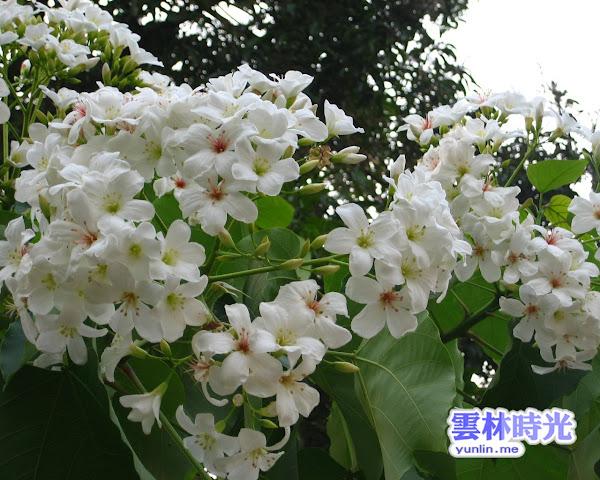 雲林油桐花季- 實拍古坑含苞且綻放的油桐花