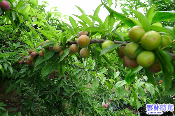 林內-蔡媽媽園圃 ● 現摘新鮮李子園