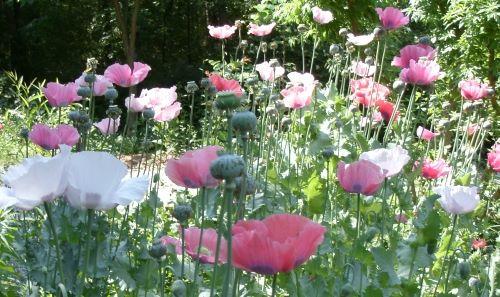 mixed peony poppies