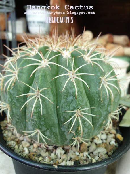 ต้นกำเนิดและประเภทของกระบองเพชร (แคคตัส Cactus)