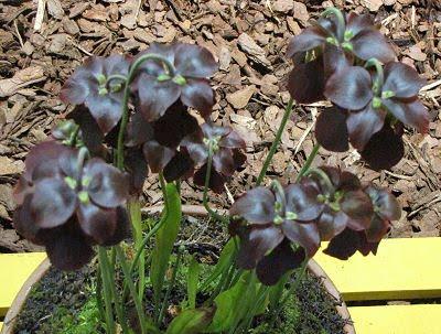 dark pitcher plant
