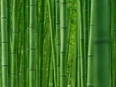 RX_1611_Bamboo Forest
