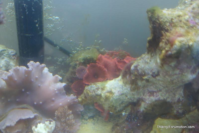 Actinodiscus sp (Red Mushrooms) DSC04477