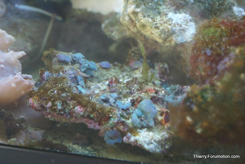 Actinodiscus sp. (Purple/Blue Mushroom) DSC04555