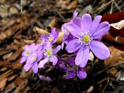 Crucea Voinicului. Flori violete de munte. Flori de primavara