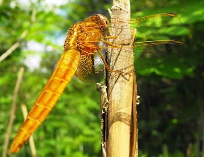 insecte din delta: libelula galbena