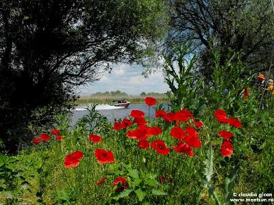 Delta Dunarii - flori de mac