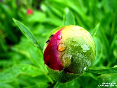 flori de mai: bujorul rosu de gradina