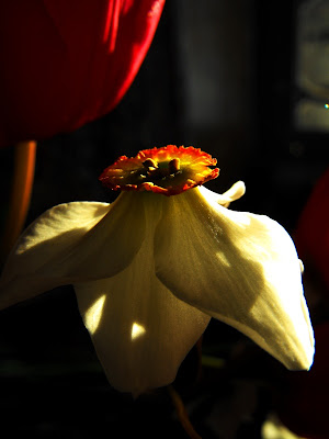 flori de primavara. narcisa alba. laleaua rosie.raze de soare