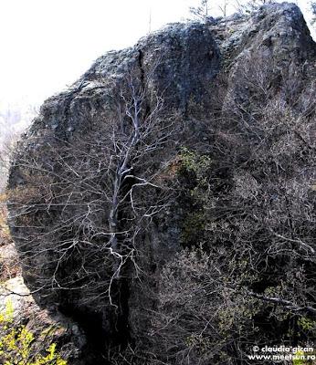 Muntii Capatanii - Sturii Puturoasei - copacul din stanca