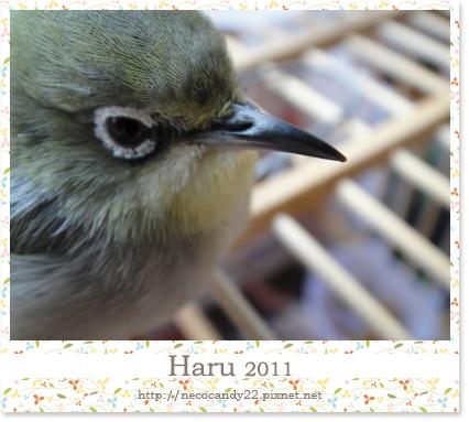 綠繡眼 Haru