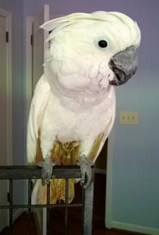 Ambra parrots 2.png