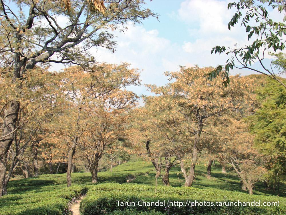 Dharamshala Tea Garden Himachal, Tarun Chandel Photoblog