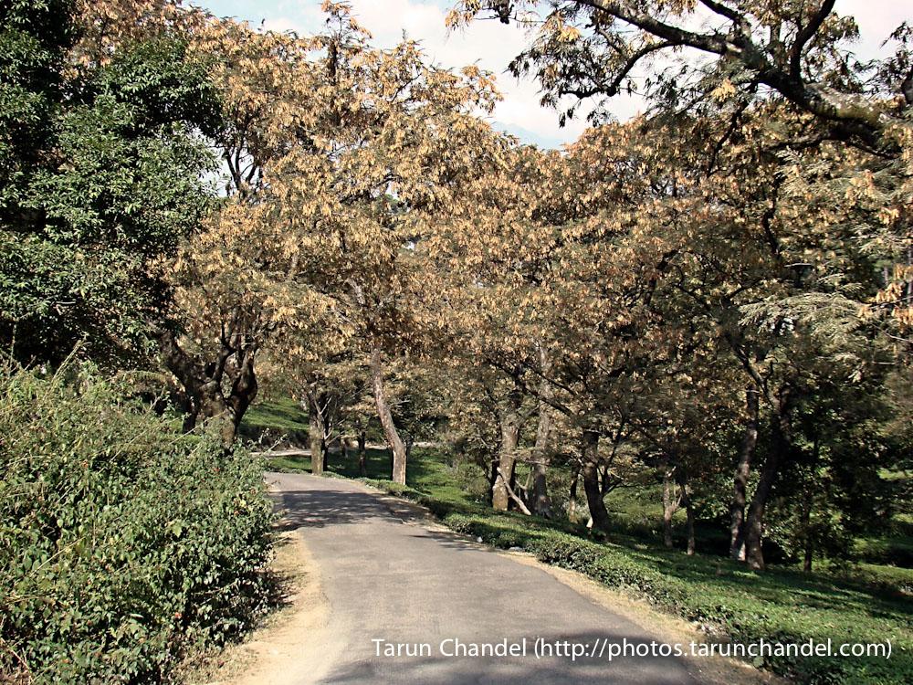 Dharamshala Tea Plantation Garden Himachal, Tarun Chandel Photoblog