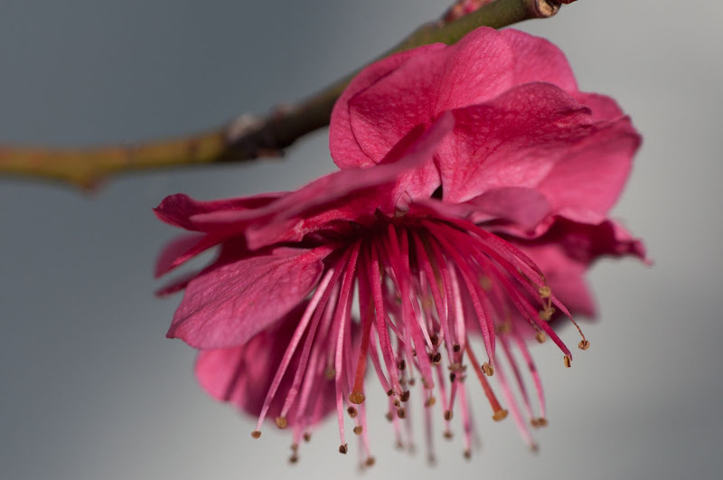pink flowering tree blossom