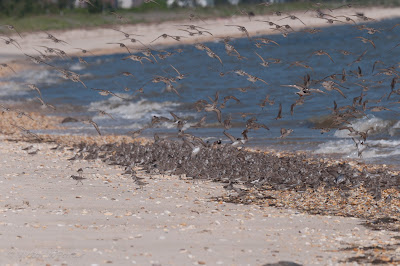 Sanderlings and Turnstones