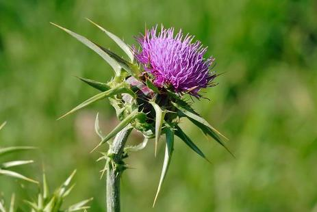Herb That Stimulate Detoxification: Milk Thistle
