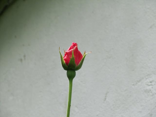 ayuda, pofavó, pa estos 2 pobres rosales - Página 2 IMG_0733