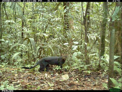 jaguarundi in the wild