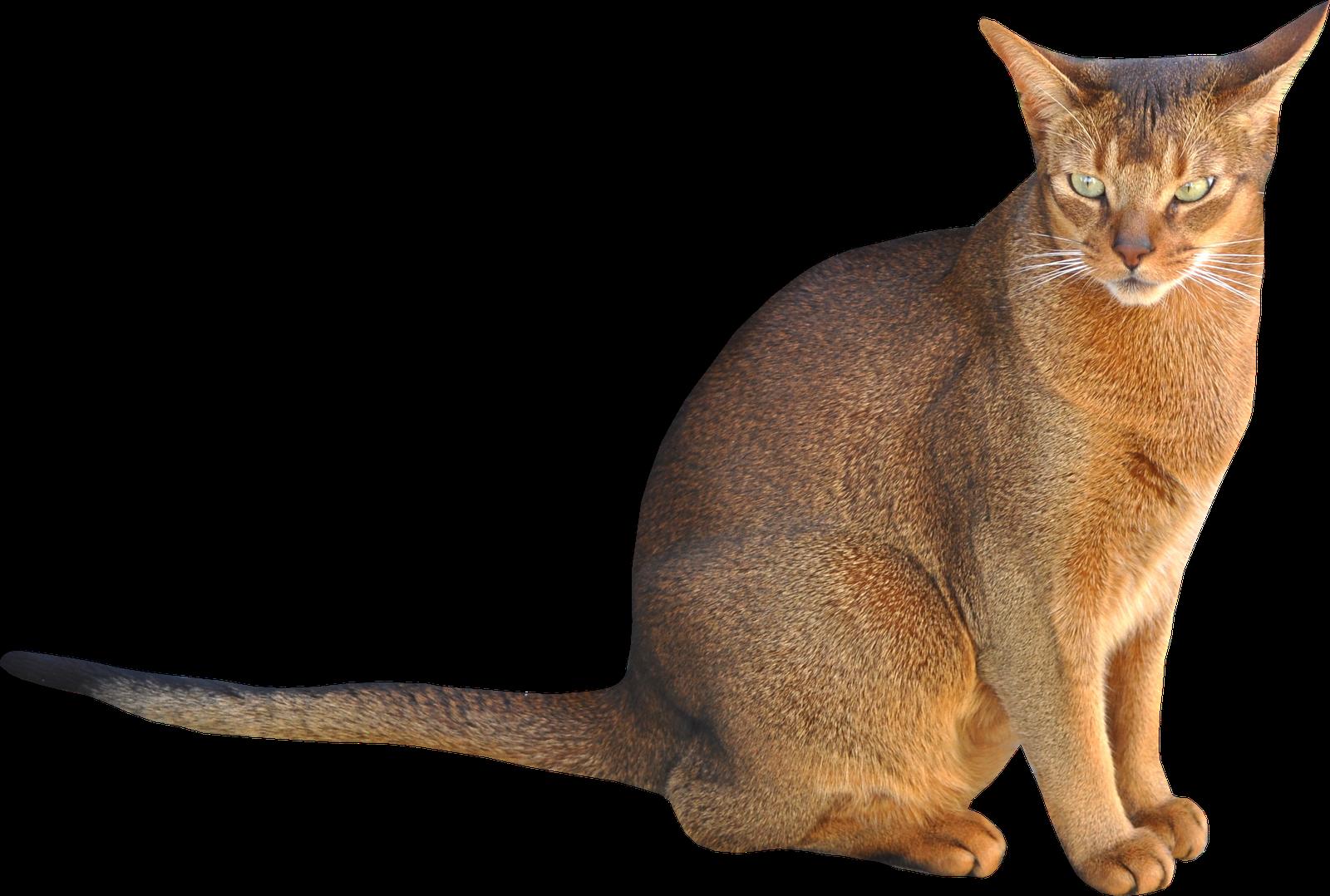 Mèo Abyssinian có nguồn gốc từ Ai Cập